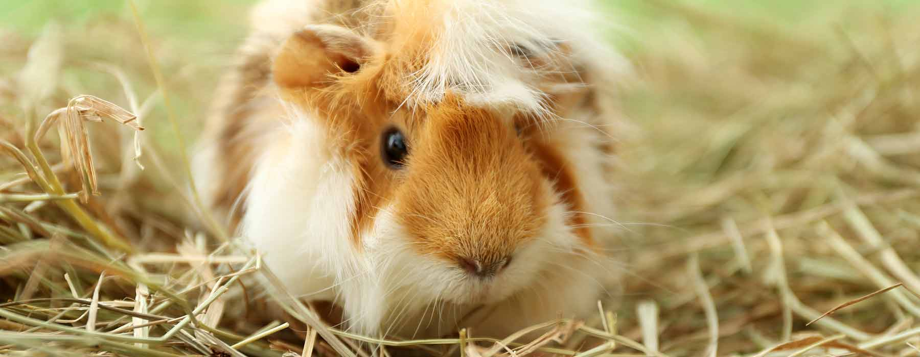 guinea pig being checked by the vet