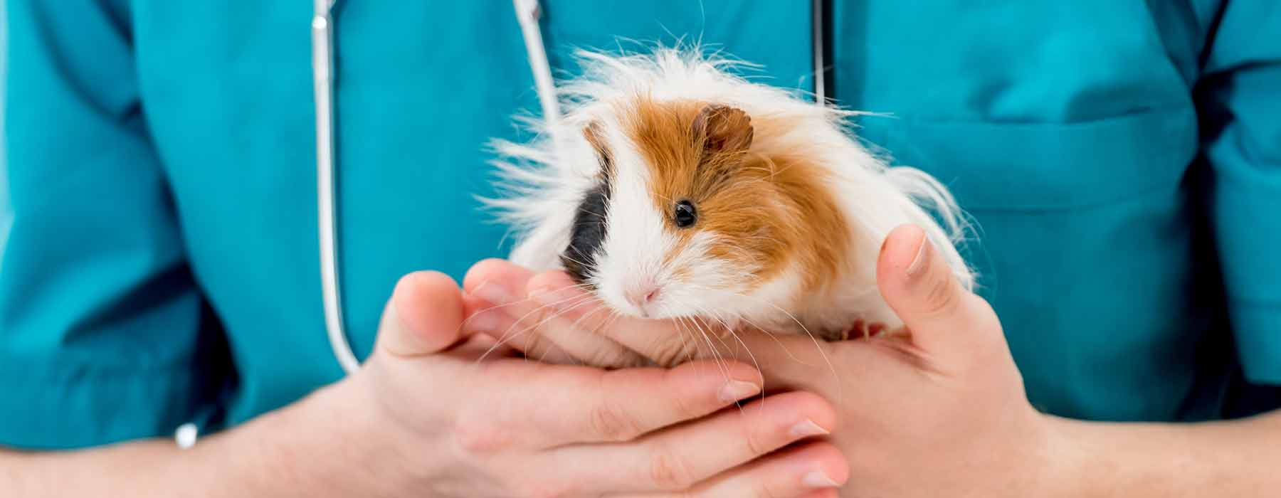 guinea pig being held by a veterinary expert