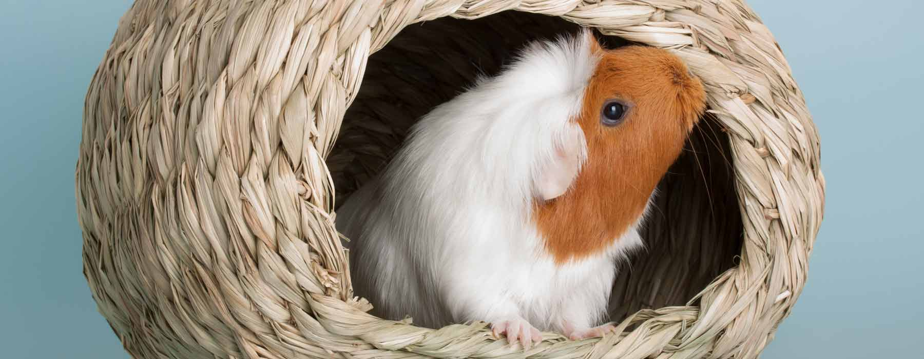 guinea pig in a woven ball hideout