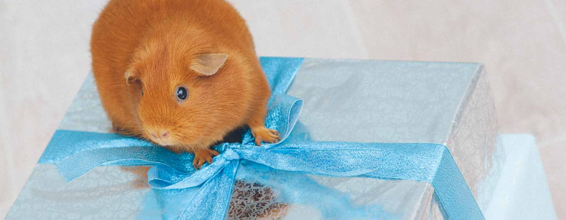 ginger guinea pig with a wrapped gift