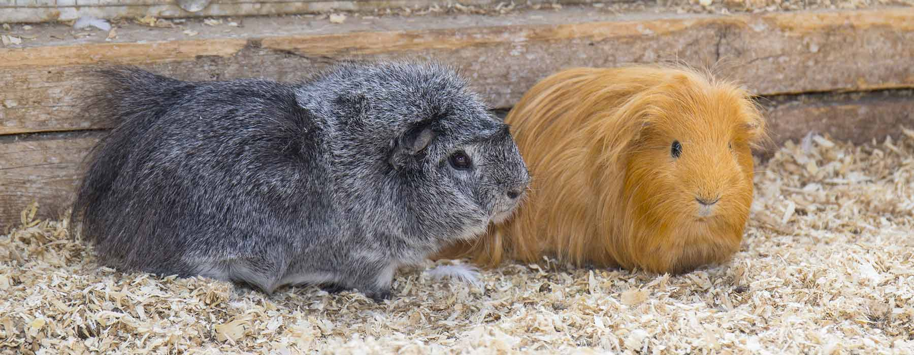 a grey guinea pig and ginger guinea pig on pine bedding