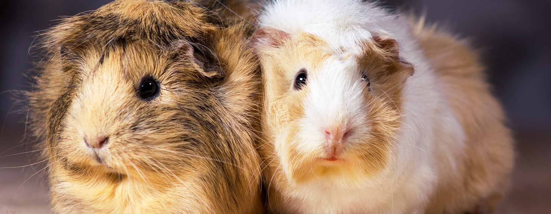 pair of cute guinea pigs side by side