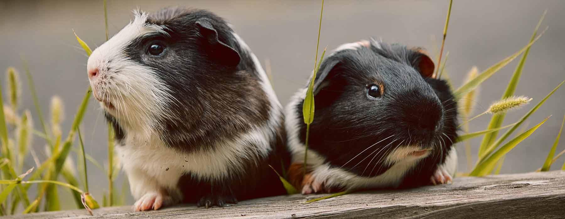 pair of guinea pig friends