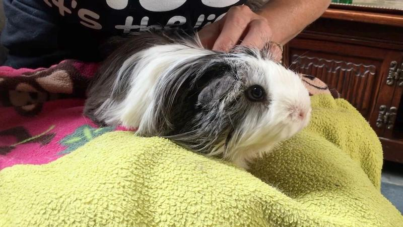 guinea pig after bath and grooming session