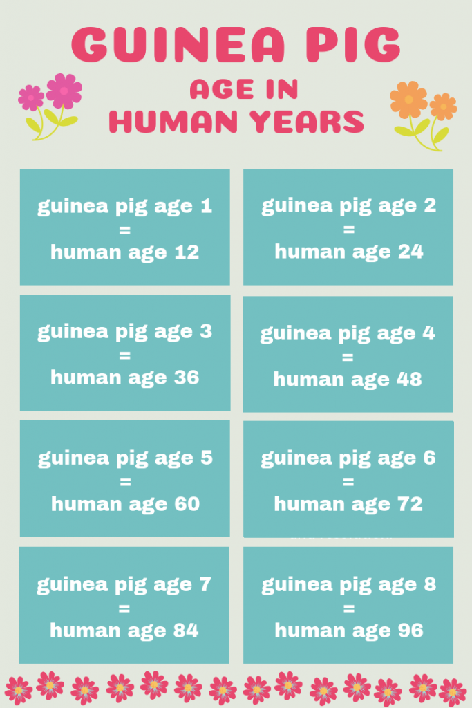 Guinea pig age in human years