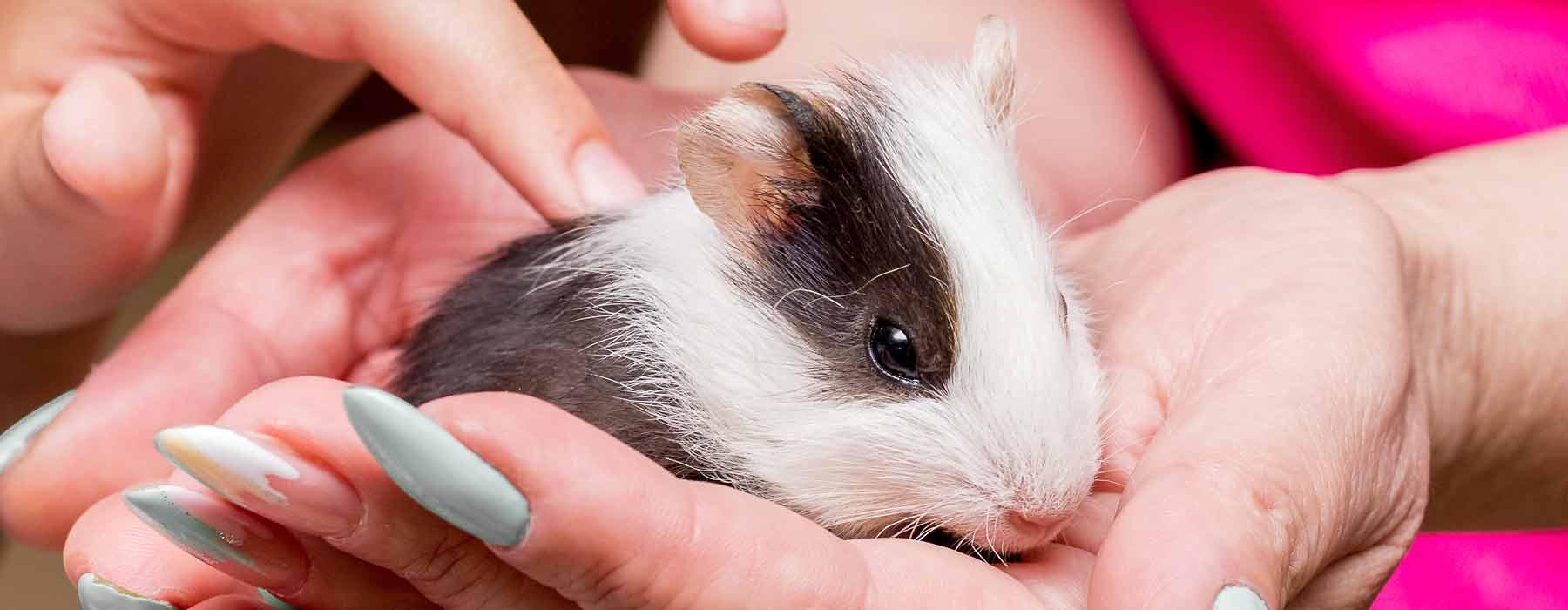 baby guinea pig in girl's hand