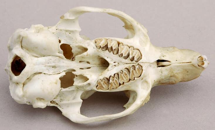 Guinea pig's upper jaw