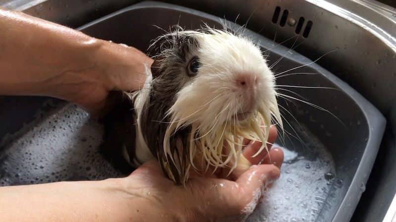 guinea pig in a bath tub