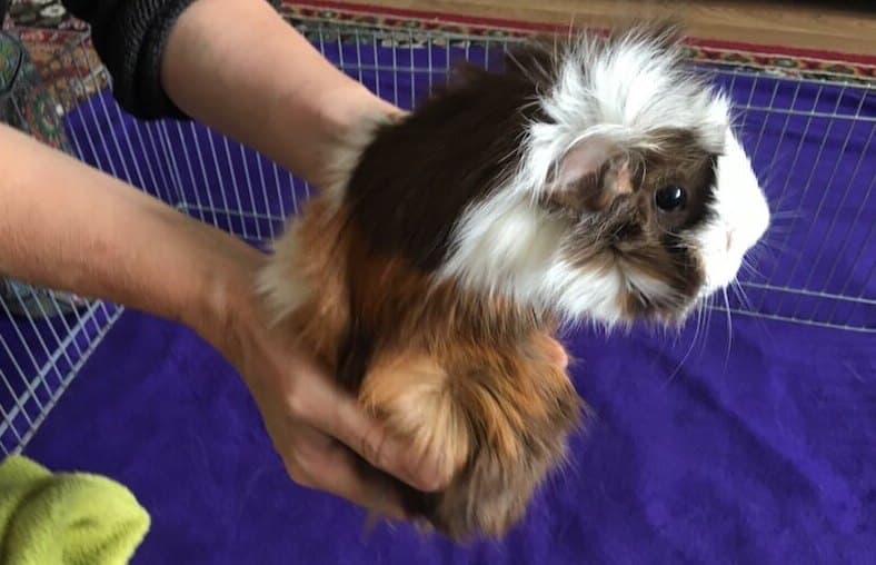 placing an Abyssinian guinea pig back in the pen
