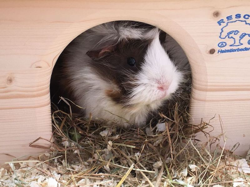 Abyssinian guinea pig in a wooden hideout