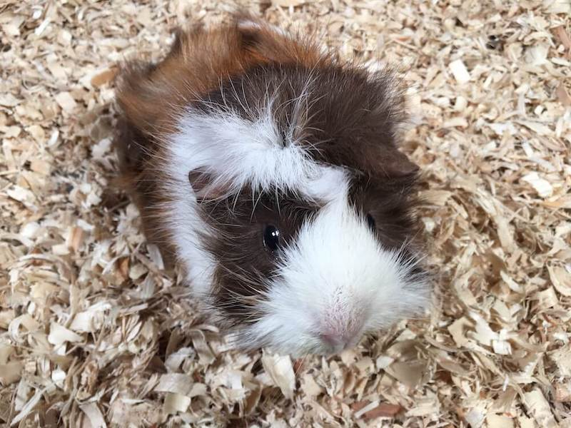 Abyssinian guinea pig on aspen bedding