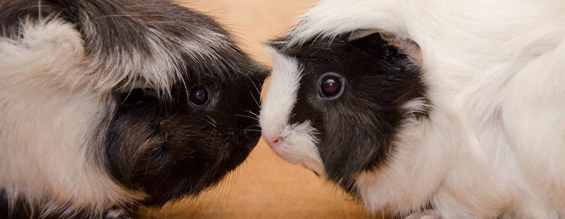 two guinea pigs nose to nose