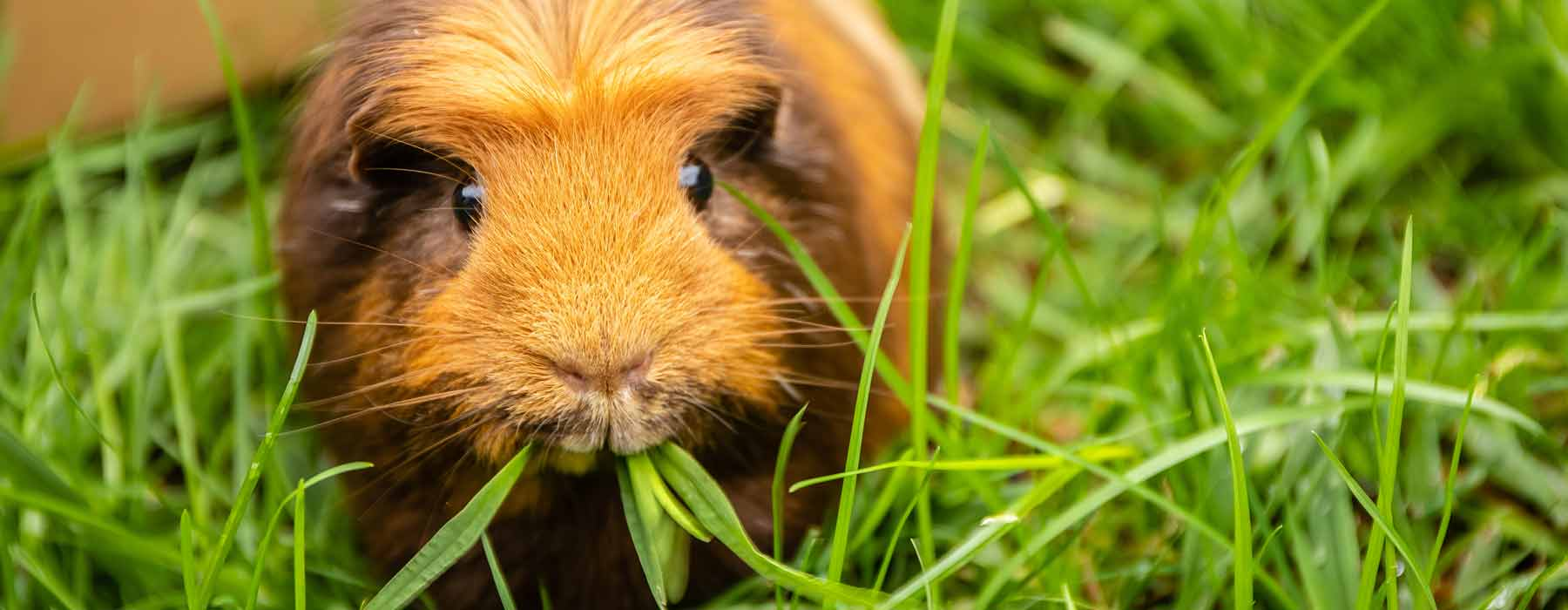 ginger guinea pig outdoors eating grass
