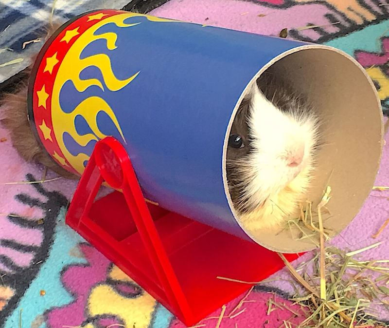 Abyssinian guinea pig in the Haypigs Circus tunnel