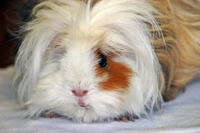 Lunkarya guinea pig breed with long thick and curly white and ginger hair
