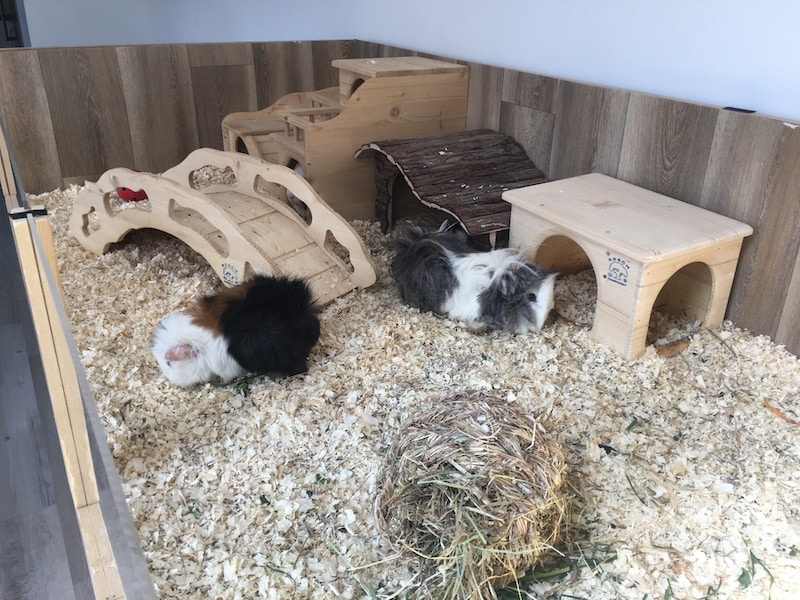 guinea pigs in a very large cage with clean bedding