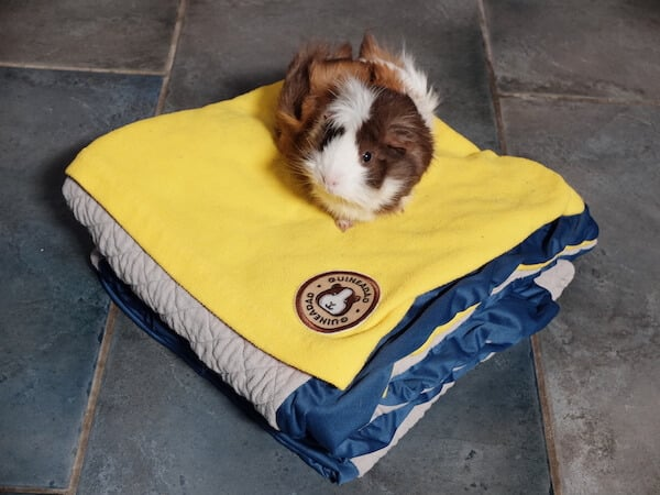 Abyssinian guinea pig sitting on top of a folded GuineaDad fleece liner