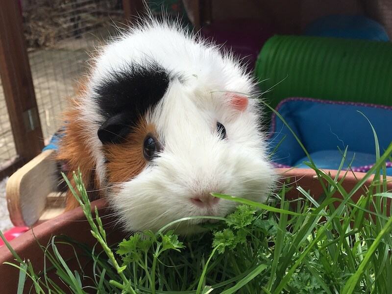 Guinea pig eating grass and herbs from a pot