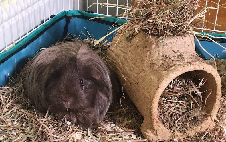 long haired Silkie guinea pig in an indoor cage next to a tunnel filled with hay