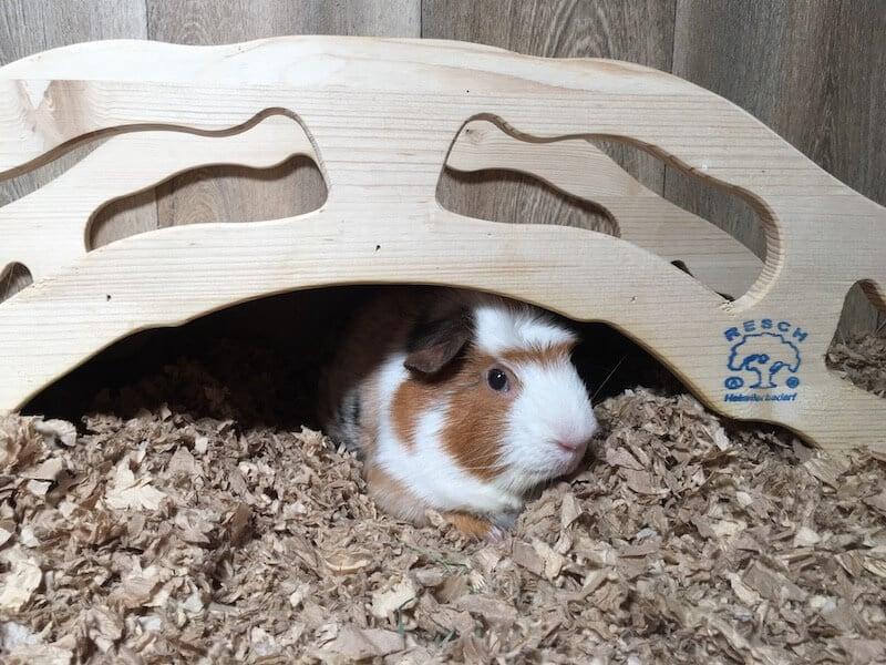 Guinea pig lying down on paper bedding under  a  bridge