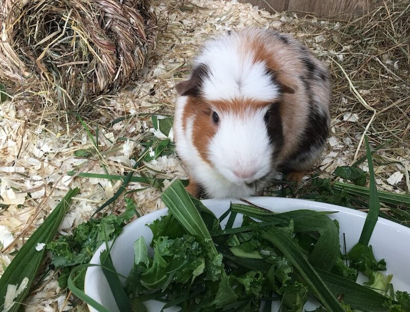 guinea pig next to a bowl of fresh green leaves