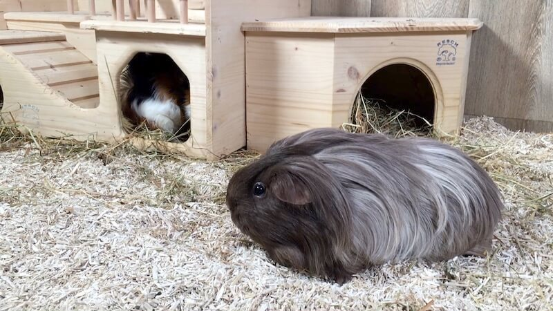Silkie guinea pig lying on hemp bedding in a large open topped cage