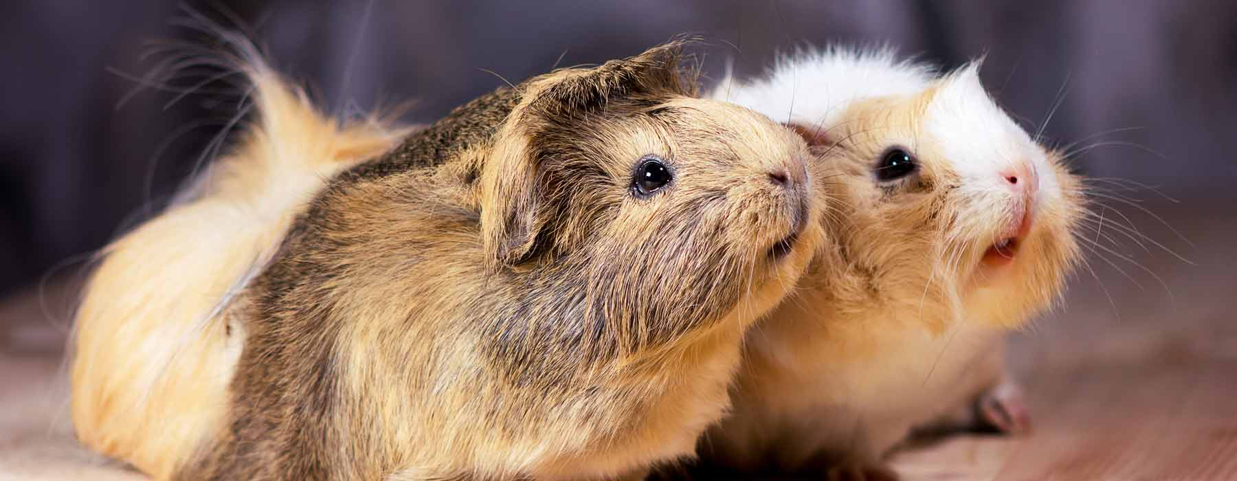 two guinea pigs side by side