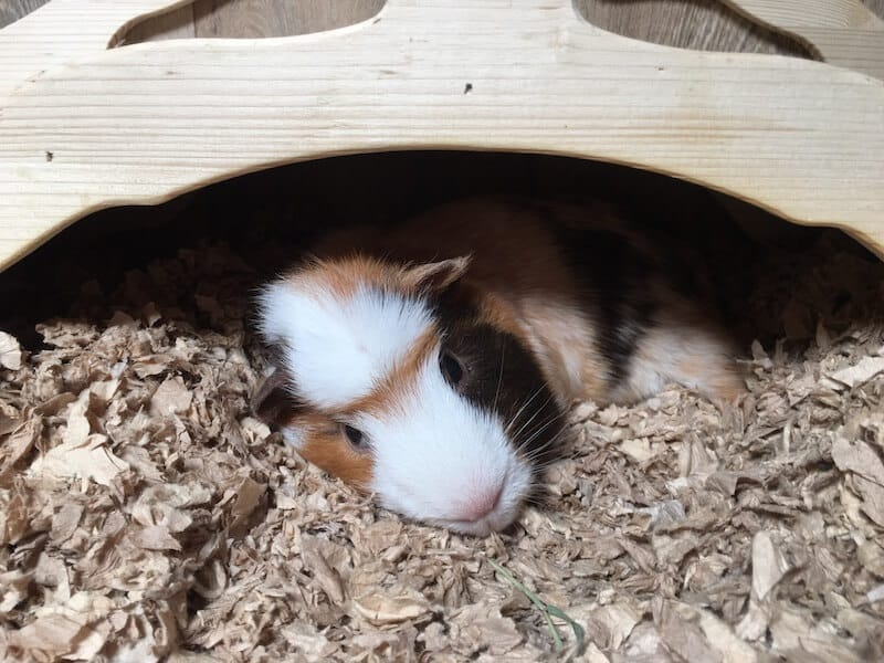 guinea pig relaxing  under a wooden bridge in his cage