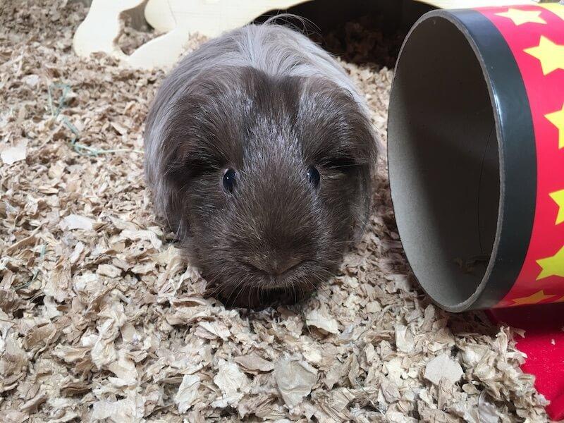guinea pig on natural paper bedding