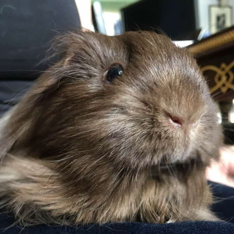 Close up image of a brown Silkie guinea pig