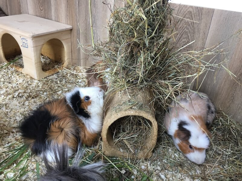 two guinea pigs eating hay from a safe hay feeder