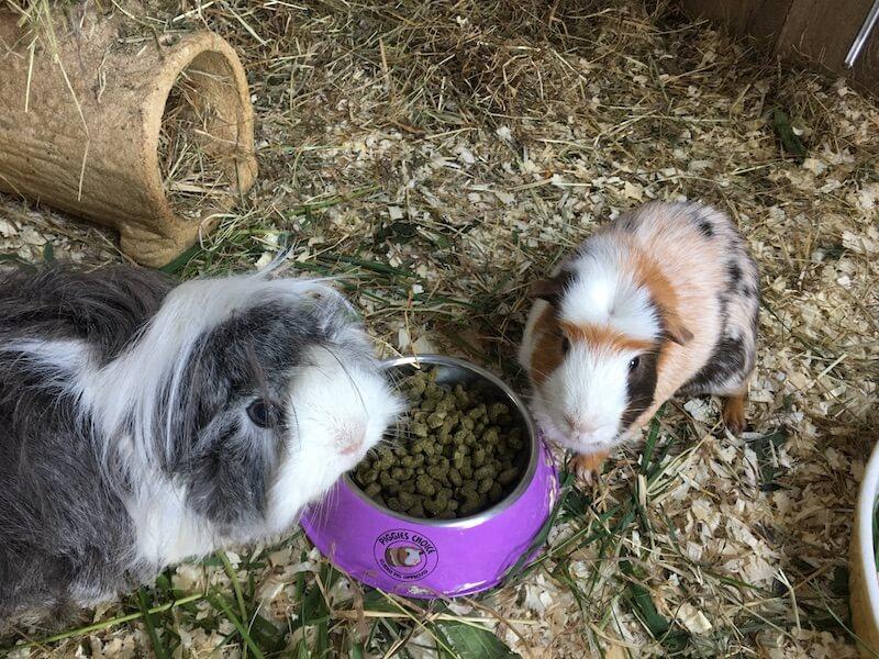 two guinea pigs eating pellet food