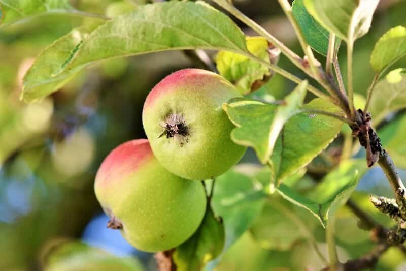 apples and apple leaves on the tree