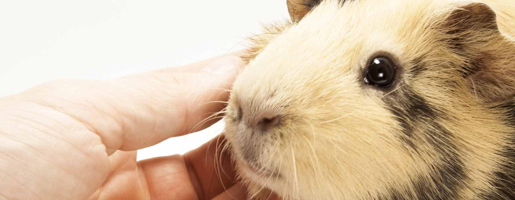 trusting guinea pig